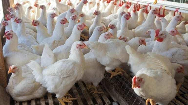 कोंबड्या अंडी देत नाहीत म्हणून पोलीस स्टेशन मध्ये तक्रार दाखल
